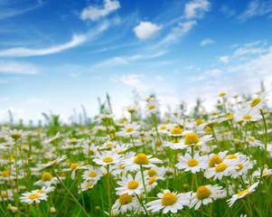 Fototapeta white daisies on blue sky