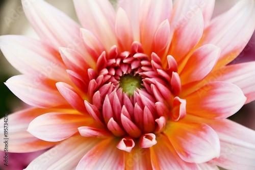 Poster de jardin Dahlia Close up of beautiful orange Dahlia flower