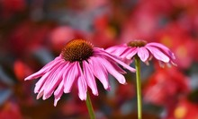 Close Up Of A Beautiful Pink Coneflower Blossoms