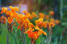 Orange Canna Lilly Field For F...