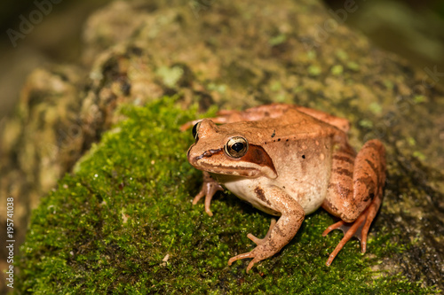 A Wood Frog on a moss covered stone in Connecticut