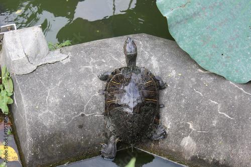 Fotografie, Obraz  turtle in the park