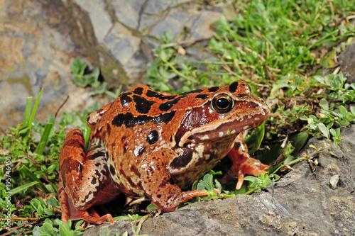 Photo Stands Frog Grasfrosch (Rana temporaria) in den französischen Pyrenäen - Common frog