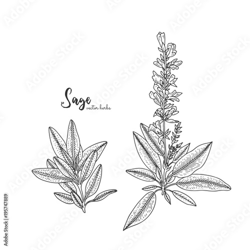 Fototapeta Vintage engraving illustration of sage. Healing and cosmetics herb. Botanical illustration for natural cosmetics, beauty store, health care products, perfume, essential oil. obraz