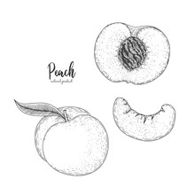 Hand Drawn Illustration Of Peach Isolated On White Background. Fruit Engraved Style Illustration. Detailed Vegetarian Food. Applicable For Menu, Flyer, Label, Poster, Print, Package Design