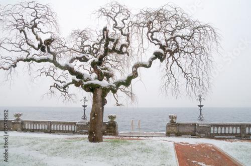 Tuinposter Bomen Albero con i rami ricci e ondulati sotto la neve sul lago di Garda