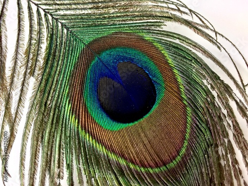 Foto op Canvas Pauw Peacock feather isolated on a white background