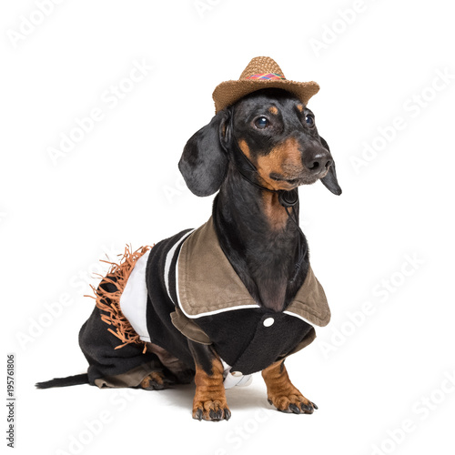 Keuken foto achterwand Crazy dog closeup portrait of dachshund dog with Cowboy costume and western hat isolated on white background.