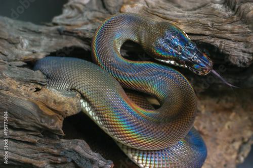 papuan black snake