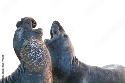 Naklejka premium Dwa samce słonia kalifornijskiego, Cystophora proboscidea, walczące w Big Sur w Point Piedras Blancas, San Simeon, Kalifornia, Stany Zjednoczone. pojedynczo na białym tle, widok z boku z miejsca na kopię