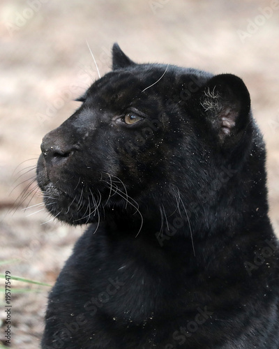 Tuinposter Panter Jaguar close-up portrait