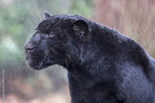In de dag Panter Jaguar close-up portrait