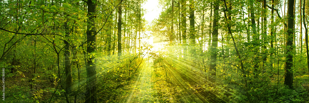 Fototapety, obrazy: Trees pierce through the leaves of a warm spring sun