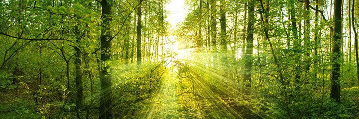 Fototapeta Do biura Trees pierce through the leaves of a warm spring sun