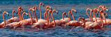 Fototapeta Sypialnia - Mexico. Flock of American flamingos (Phoenicopterus ruber, also known as Caribbean flamingo) in Celestun Biosphere Reserve
