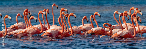 In de dag Flamingo Mexico. Flock of American flamingos (Phoenicopterus ruber, also known as Caribbean flamingo) in Celestun Biosphere Reserve