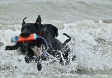 Two Black Dogs Playing In The ...