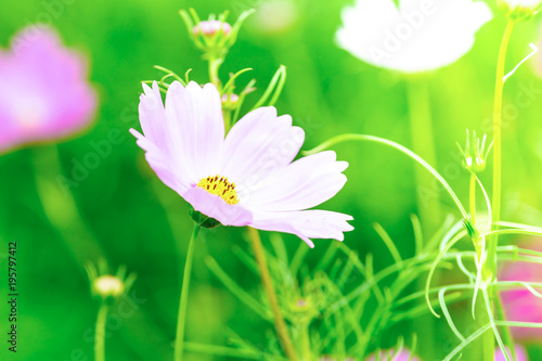 Pink And White Cosmos Flowers In Garden Beautiful Flower Kaufen