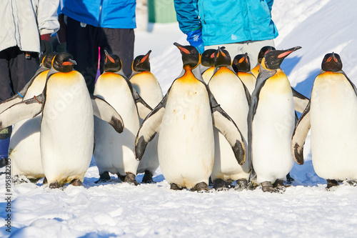 Foto op Canvas Pinguin キングペンギンの散歩