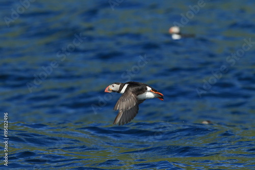 Photo  Atlantic Puffin or Common Puffin, Fratercula arctica, Norway