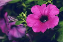 Macro Petunia Hybrida Blossom ...