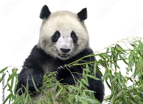 Foto op Plexiglas Panda Isolated panda. Big panda bear holding a bunch of bamboo branches with leaves isolated on white background