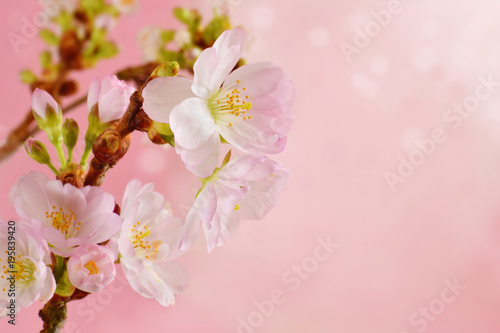 Sakura blossom closed up springtime template background