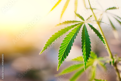 Fényképezés Green leaf of cannabis, background image