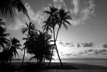 Silhouettes Of Palm Trees On The Shore In Black And White Color