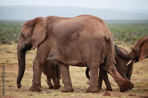 Foto op Aluminium Olifant Elephant Family - Addo Elephant Park - South Africa