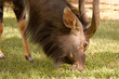 Young Nyala bull grazing