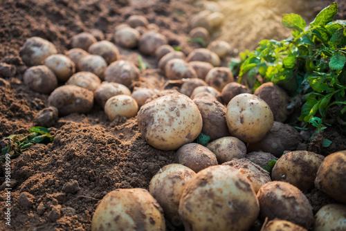 potatoes in the field Fototapete