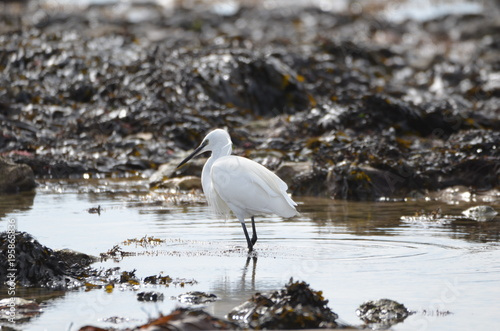 Photo Aigrette garzette (Egretta garzetta)