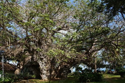 Ältester und größter über 500 Jahre alter Baobab Baum in Kenia