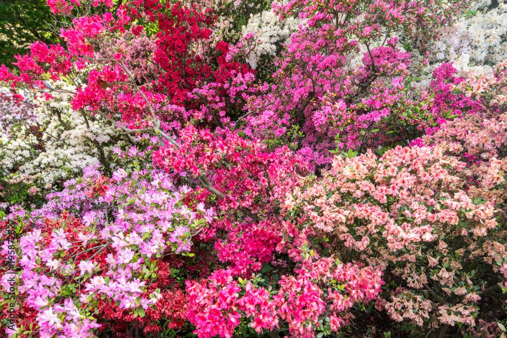 Bunte Azaleen Sträucher Im Garten In Voller Blüte Foto Poster
