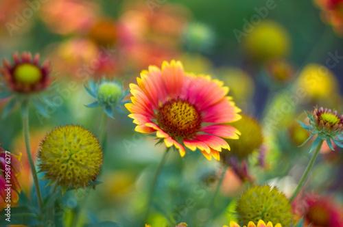 Fotobehang Vlinder pollination by bees colorful flowers Gaillardia in the garden