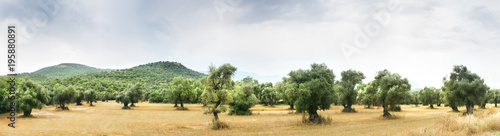 Fotoposter Olijfboom Panoramic view of Olive Farm.