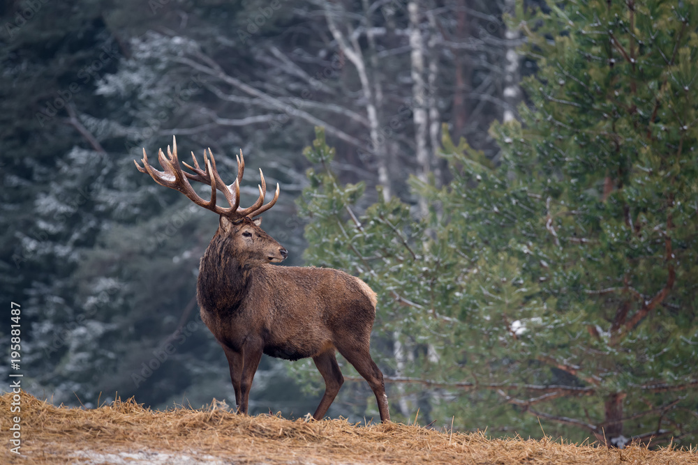 Single Adult Noble Red Deer With Big Horns, Beautifully Turned Head. European Wildlife Landscape With Deer Stag. Portrait Of Lonely Deer With Big Antlers At Birch Forest Background.