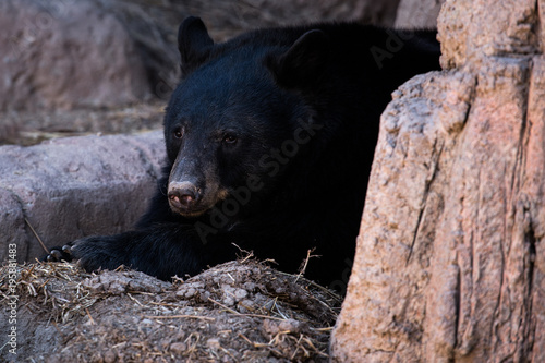Photo  Black Bear