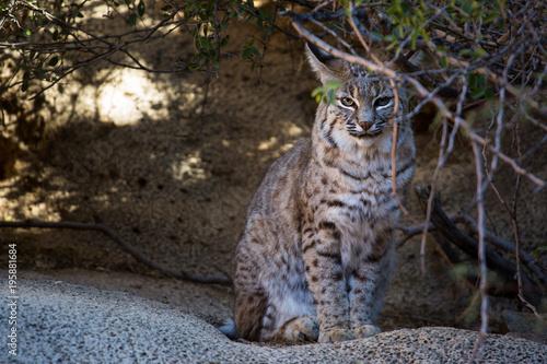 Photo  Bobcat