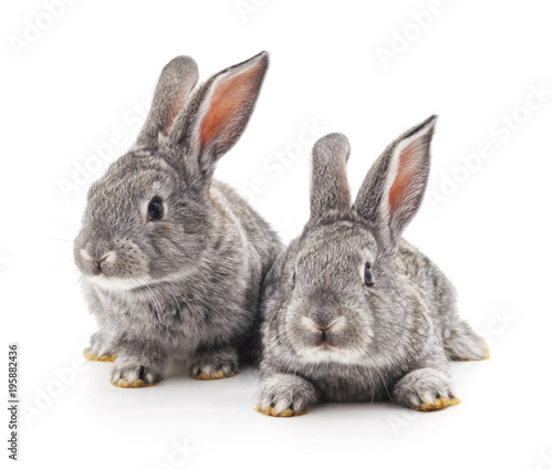 Fotografia, Obraz Two gray rabbits.
