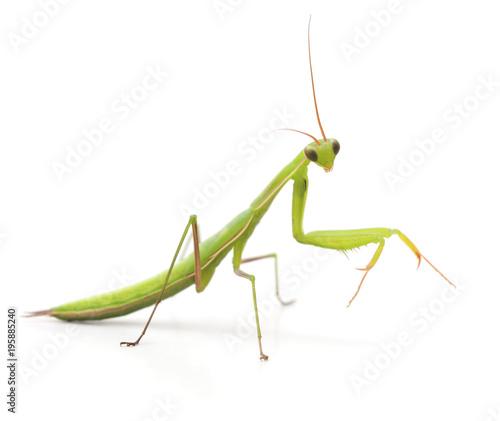 Fototapeta  Large green mantis.
