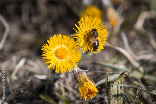 Vászonkép Bee gathers nectar from a flower of coltsfoot on a sunny warm spring day