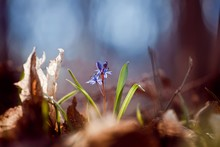 Macro Photo Of A Small Squill Plant (Scilla Bifolia L) Getting Through Fallen Leaves To The Warm Spring Sun In A Forest