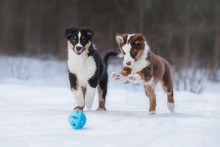 Two Funny Australian Shepherd Puppies Playing With A Ball In Winter