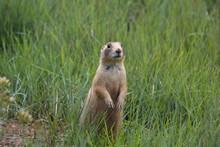 Utah Prairie Dog - Bryce Canyo...