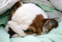 Bulldog Puppy Sleeping In The ...