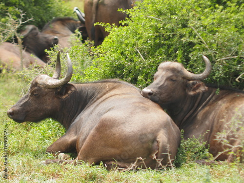 Keuken foto achterwand Buffel Büffel
