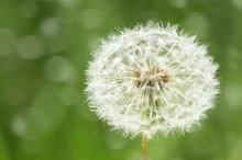 One Big Dandelion Flower Close...