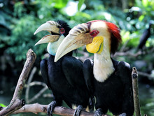 Couple Of Calao Or Wreathed Hornbill From Bali Bird Park Indonesia